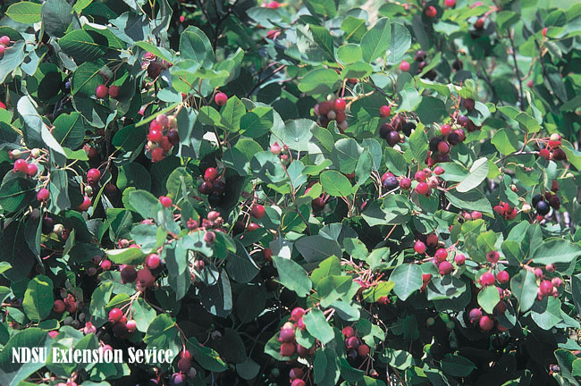 Bare root seedlings bundles of 25 serviceberryjuneberry serviceberryfruit2 description serviceberryjuneberry thecheapjerseys Image collections